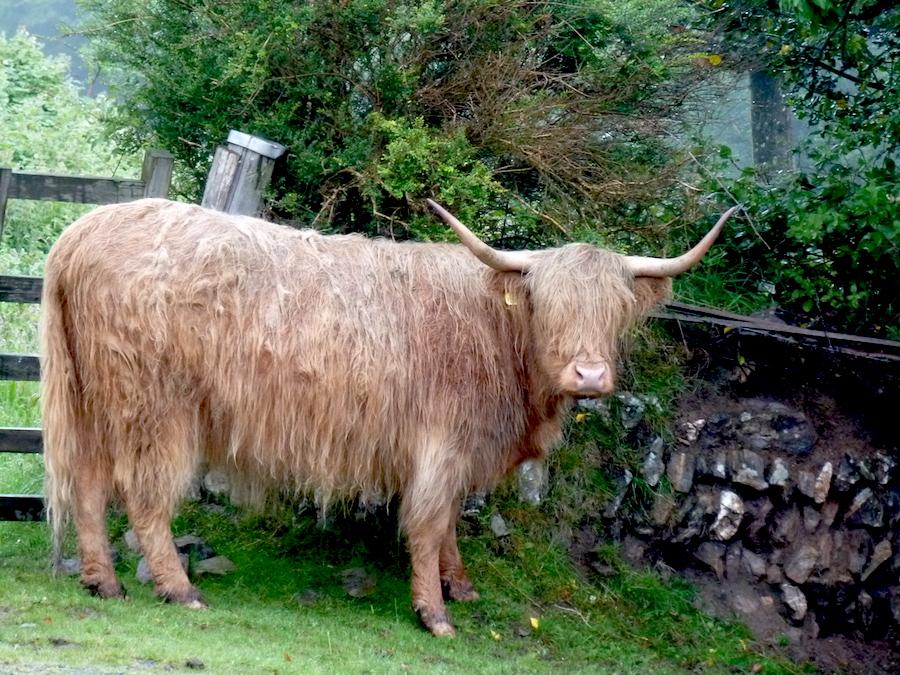 Корова убийца